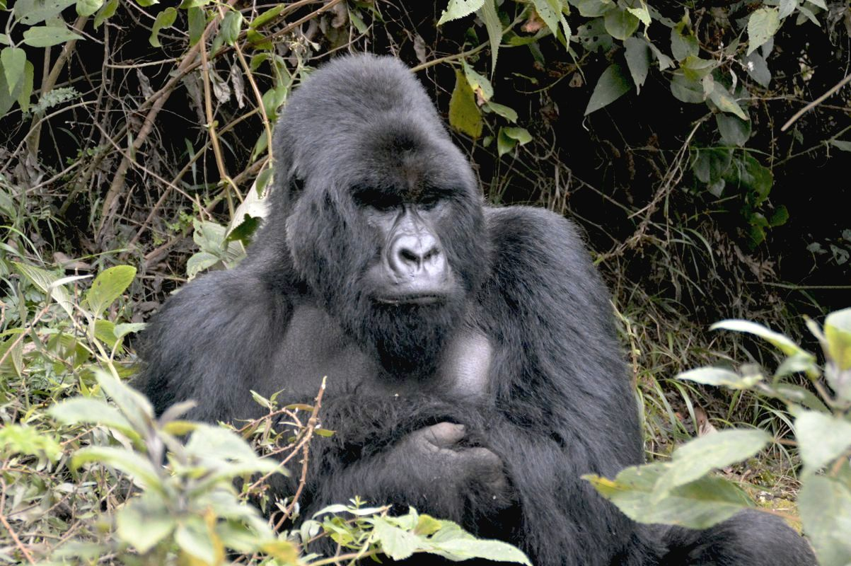 Berggorilla im Virunga-Nationalpark